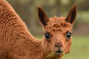 imgID137434716.jpg.gallery Alpacas. By Cathy Anning